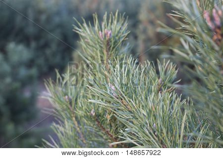 Green pine branch on tree macro scene