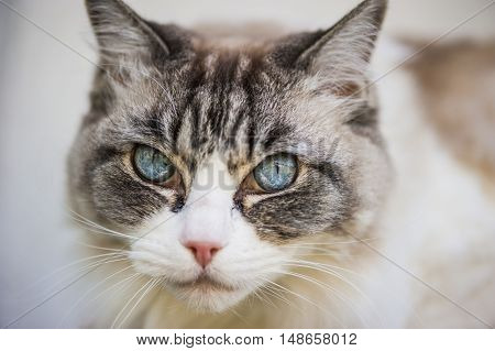 wonderful blue eyes white and grey cat