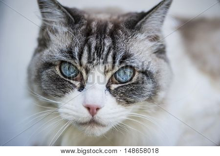 wonderful white and grey cat with blue eyes