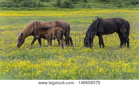 Three Islandic horses and foal in yellow flower maedow near Godafoss waterfall on Iceland.