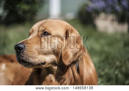 sad and thoughtful dog is looking outside