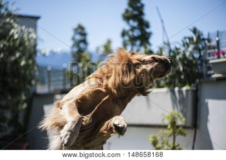 beautiful ocher dog is jumping to take food