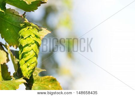 closeup of a hop plant against a white background