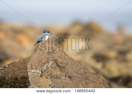 Belted Kingfisher perched on rocks on the shore of the Pacific Ocean