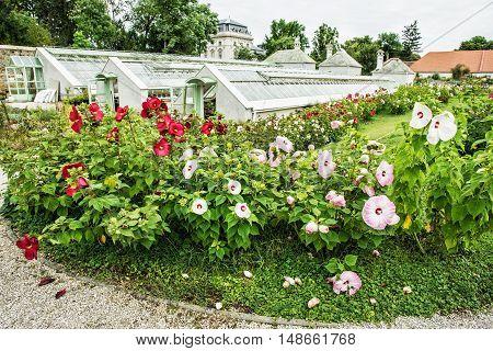 Beautiful hibiscus flowers in orangery near the Festetics palace. Keszthely Zala Hungary. Gardening theme.