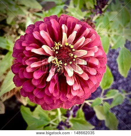 pink and white zinnia flower in full bloom