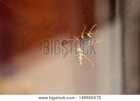 Wasp in a windowpane. Horizontal format. Color. Photo.