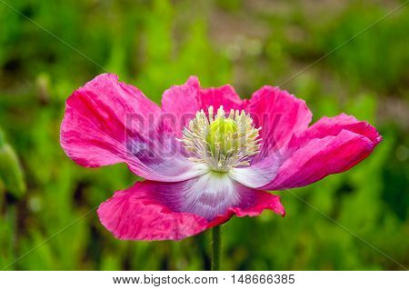 Closeup of a pink blossoming cultivated poppy against the blurred natural background of its field in summertime.