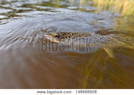 Closeup of brown trout being hooked by fishing line