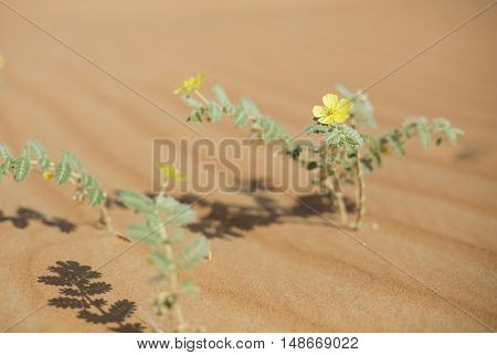 Flowers in Liwa Desert Abu Dhabi UAE