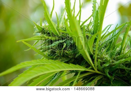 flowering Leafy Top Marijuana Bud on Cannabis outdoor Plant