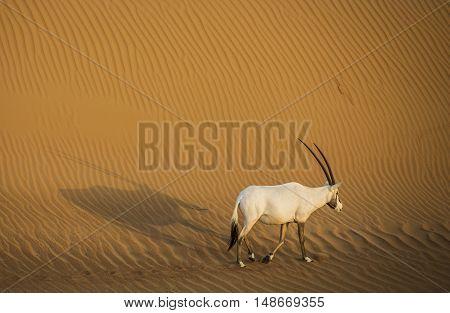 Arabian oryx in a desert near Dubai