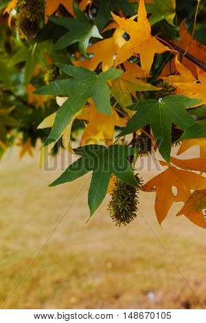 Autumn colors - yellow japanese maple tree leafs (Acer palmatum) and yellow grass