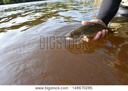 Fly-fisherman catching sea trout in river