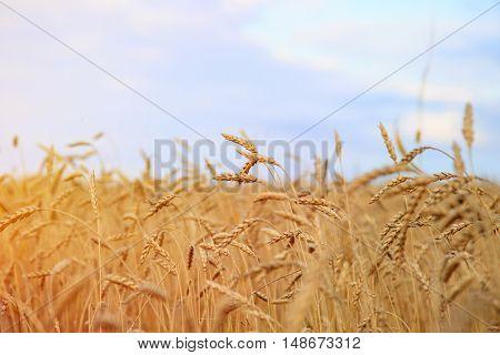 Wheat field against a blue sky. Selective focus.