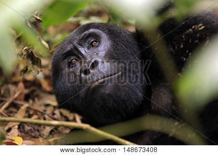 Eye Contact with a Resting Mountain Gorilla (Gorilla beringei beringei) through the Foliage. Bwindi Impenetrable National Park Uganda