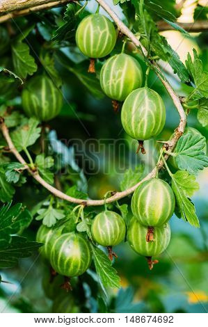 Fresh Green Gooseberries. Growing Organic Berries Closeup On A Branch Of Gooseberry Bush. Ripe Gooseberry In The Fruit Garden