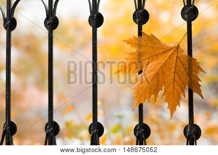 Autumn wind and stuck on the grid single maple leaf. Selective focus