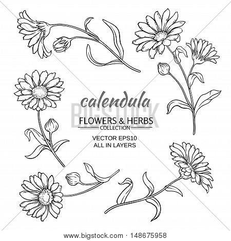 calendula flowers vector set on white background
