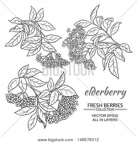 elderberry branches vector set on white background