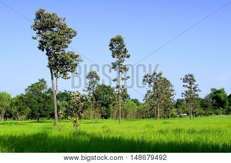 Big trees in the green rice fields.Big trees in green rice fields.