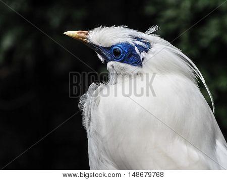 Bali Mynah bird with a blue face