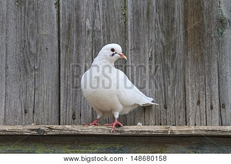 White pigeon standing on one leg on the cornice, postal bird