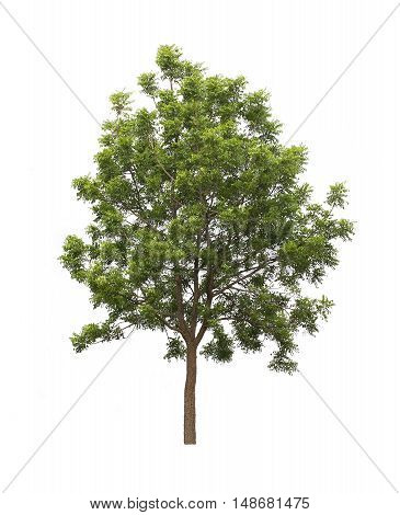 tree isolated on white background, tree isolated