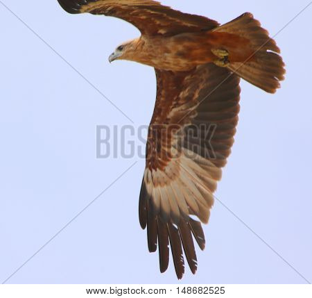 juvenile Brahminy Kite soaring over a rice field near Ranot, Thailand