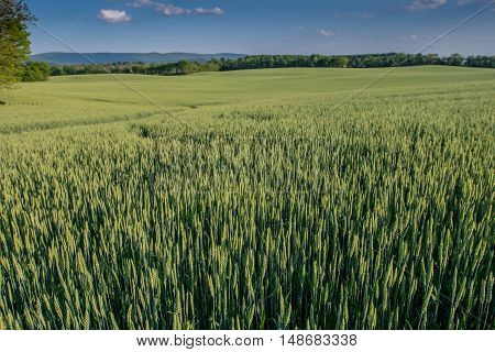 Green Wheat Stretching out over vast field in early summer