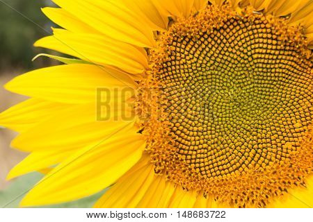 Sunflower head close up middle part of flower
