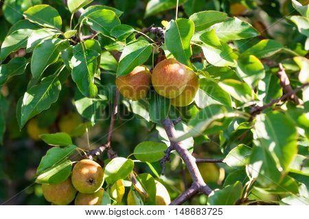 Ripe sweet organic pears on tree branch in the garden