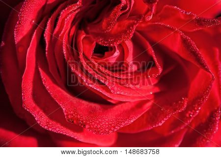 Red scarlet rose closeup macro with water drops background, top view