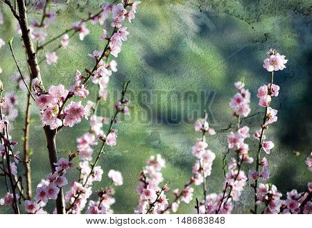 Cherry blossoms in soft afternoon light. Teal green rustic  textured background with copy space for text.