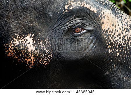 Focusing tear Crying Eye of an elephant sullen mood