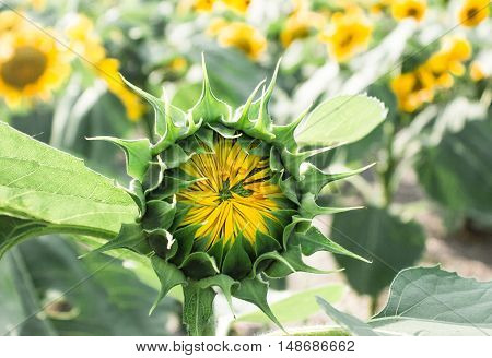 horizontal image image of a sun flower just about to open up and bloom in the bright morning sunshine.