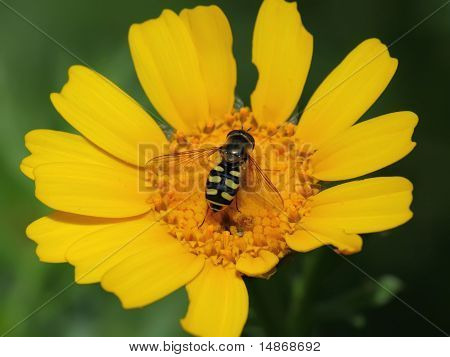 Wasp On Yellow Flower