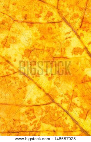 Dry yellow autumn leaf texture close up