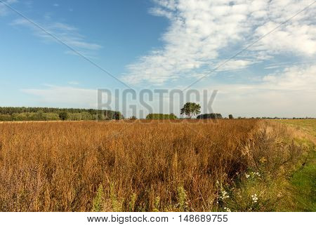 Beautiful landscape of meadow lush and lonely pine tree in autumn under blue sky. Poland in September. Horizontal view.