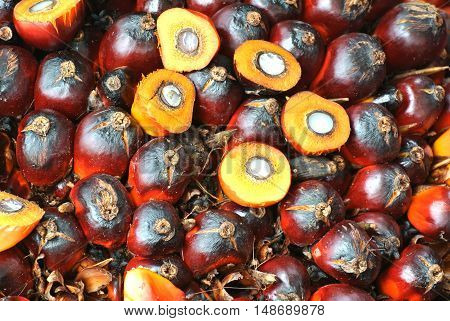 MALACCA, MALAYSIA - SEPTEMBER 17, 2015: Close-up view of palm oil fruit bunches. The photo was taken at Malacca, Malaysia.