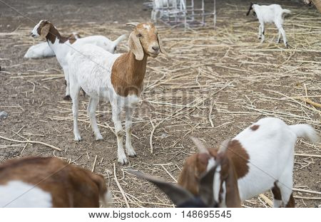portrait of goat on a ground field ,selective focus,filtered image