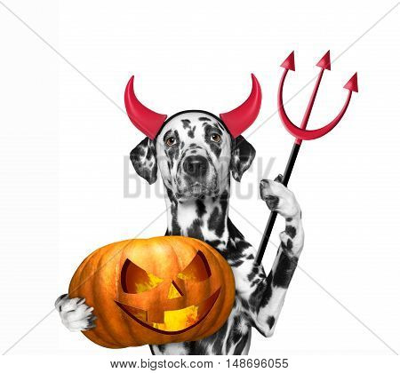 Dog with pumpkin in devils costume for Halloween -- isolated on white