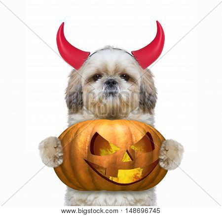Cute dog with pumpkin in devils costume for Halloween -- isolated on white