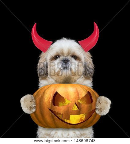 Cute dog with pumpkin in devils costume for Halloween -- isolated on black