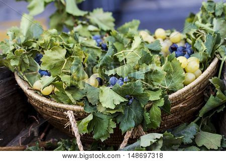 QUARTU S.E. ITALY - September 17 2016: Parade of Sardinian costumes and floats for the grape festival in honor of the celebration of St. Helena. - Sardinia - detail of a wicker basket with the grapes