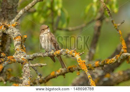 Spotted Flycatcher (Muscicapa striata).Wild bird in a natural habitat