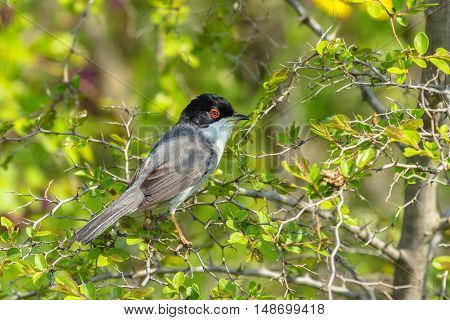 Sylvia melanocephala Sardinian Warbler male in the bush