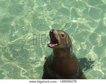 Great face of a sea lion with his mouth wide open you can even see his teeth.