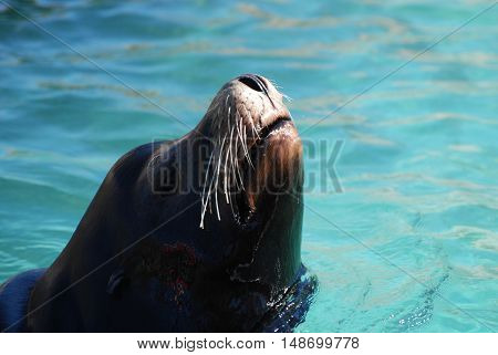 Sea lion with his nose in the air in the water.
