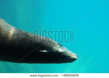 Sea lion swimming along underwater in the sea